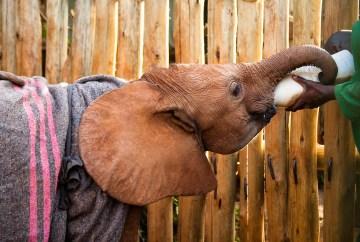 elephant orphan