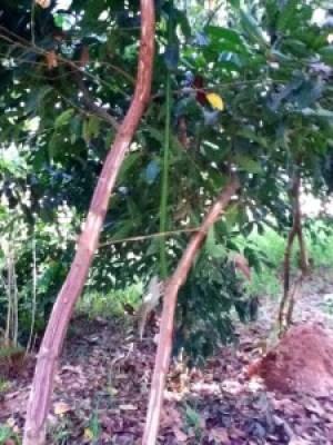 The humble cinnamon tree growing wild