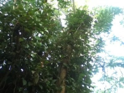 The fast-growing pepper tree seeks support from other trees