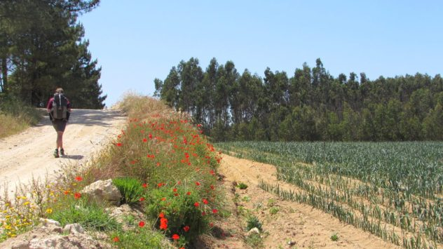 Roadside poppies and cabbages near Peniche in Central Portugal