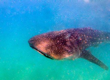 ZZ Expat-Getaways-Whale-Shark-Mozambique