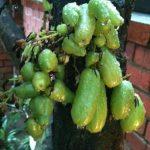 buah bling bling