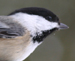 Black-capped_Chickadee_thumb