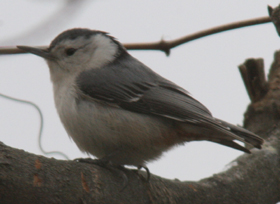 The White-breasted Nuthatch – Sitta carolinensis