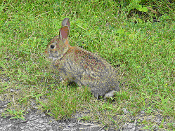rabbits and hares have physical differences some subtle some obvious