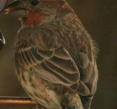 House Finch – Carpodacus Mexicanus