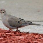 Mourning_dove-Zenaida_macroura