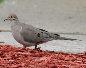Mourning dove – Zenaida macroura