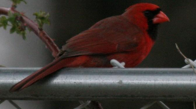 Northern Cardinal – Cardinalis Cardinalis