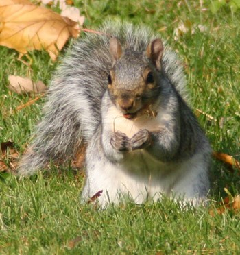 Eastern Gray Squirrel – Information and Facts