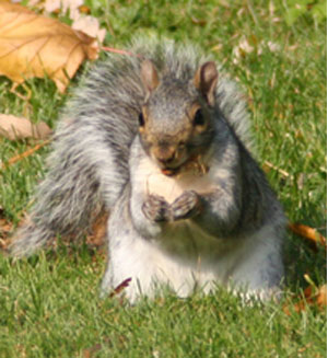 Gray squirrel in a classic pose. Nut in had and hind legs