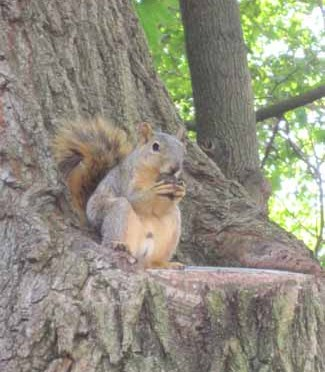 Fox Squirrel – Sciurus niger