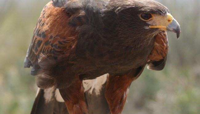 Harris Hawk – Parabuteo Unicinctus