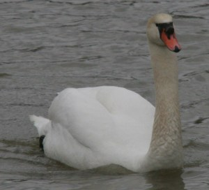 The Mute Swan is reported to mate for life.