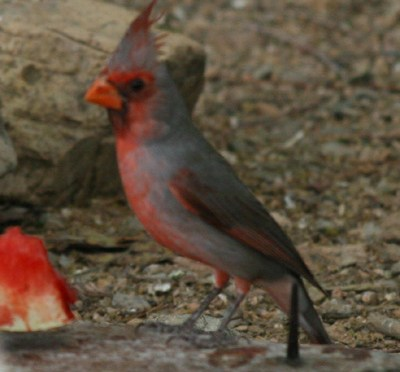 Pyrrhuloxia – Cardinalis sinuatus