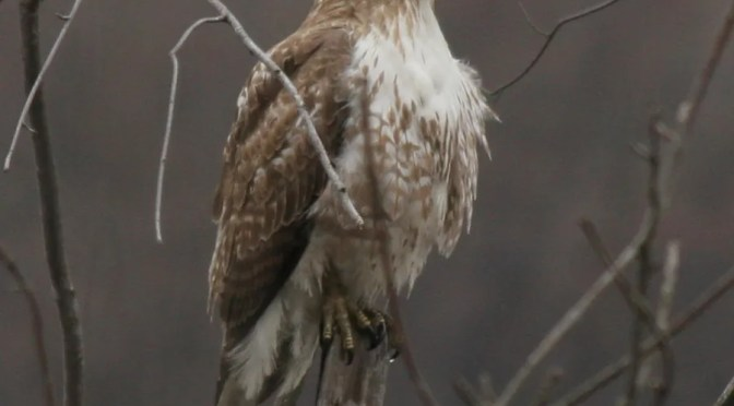 Red-tailed Hawk – Buteo Jamaicensis