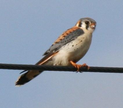 American Kestrel – Falco Sparverius