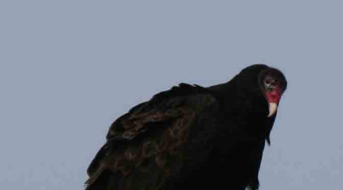 Turkey Vulture – Cathartes aura