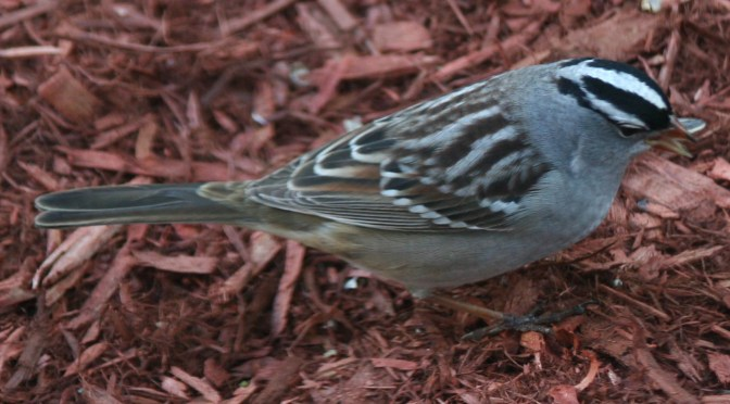 White-crowned Sparrow – Zonotrichia leucophrys