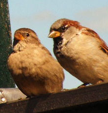 House Sparrow can most often be seen hopping on the ground rather than walking.