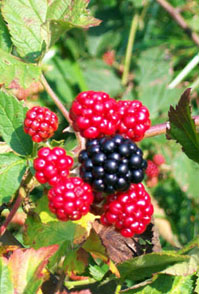 Blackberry fruit is sweet and tastes great but may be seedy