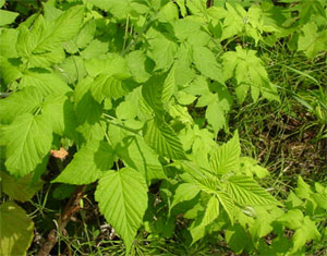 Blackberry leaves are generally in threes and are serrated
