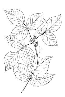 poison ivy generally has three leaves and white berries