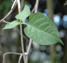 Bittersweet is a semi-woody herbaceous perennial vine, which scrambles over other plants, capable of reaching a height of 12 feet