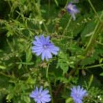 Chicory is grown and harvested for its root and tender shoots.