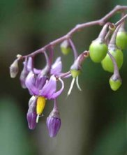 Climbing nightshade is a relatively important in the diet of some species of birds