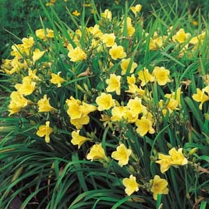 Daylily flowers come in a variety of forms, including: circular, triangular, double, ruffled, star-shaped and spider-shaped.