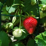 Strawberries are in full fruit production in their second year.