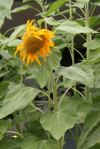 The stem of a sunflower grows from the plume found inside the seed.