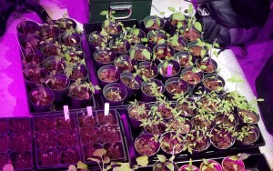 Starting Gardens using Seeds. Setting up trays for seeds is important