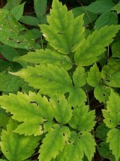 white baneberry leaves are toothed at the edges and are also compound