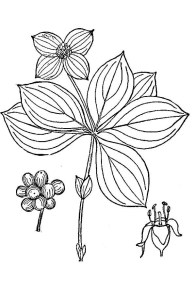 bunchberry drawing showing stem, leaves, flower heads and berries