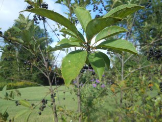 The name chokecherry came from the bitter and astringent taste of the fruit.