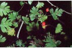 Hawthorn a Wild Edible Notes of Interest leaves and berries