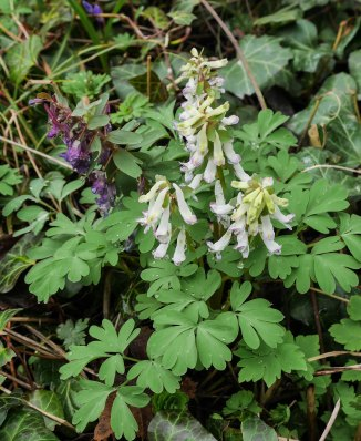 Corydalis solida, form (2 av 3)