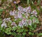 Corydalis solida, ljust violett (2 av 2)