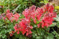 Corydalis solida, mix (10 av 17)