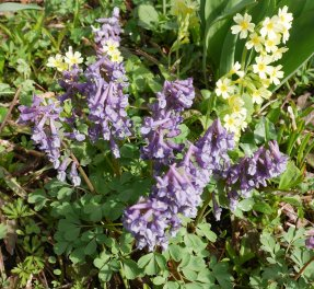 Corydalis solida, mix (7 av 17)