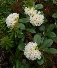 Daphne blagayana (3 av 3) (538x640)
