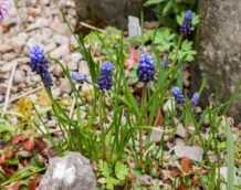 Muscari neglectum (640x505)