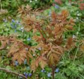 Paeonia suffruticosa (3 av 3) (640x607)