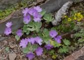 Primula marginata ssp crenata (640x465)