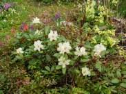 Rhododendron aureum (3 av 3) (640x481)