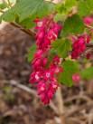 Ribes sanguinea (2 av 2) (481x640)