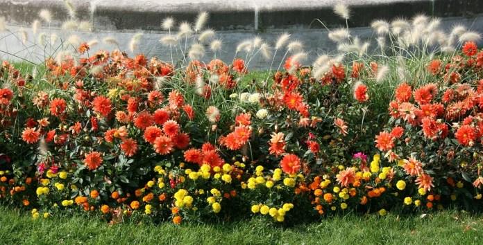 Rabatt i rött och gult med dahlior tagetes och gräs