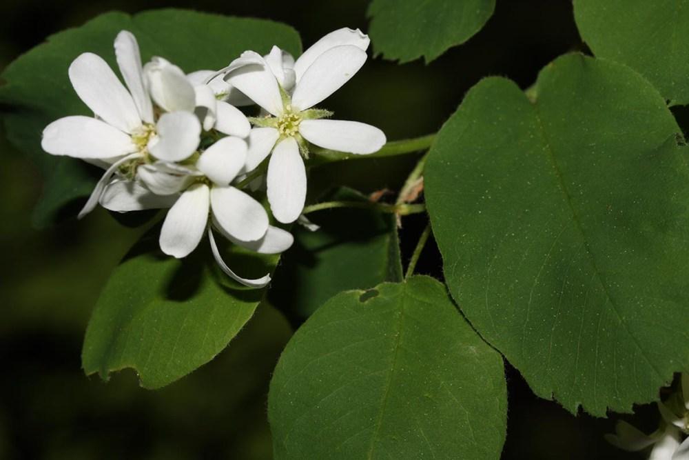 Amelanchier_alnifolia_1200_800